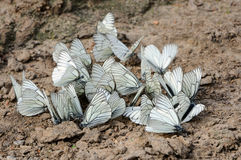 White butterfly Royalty Free Stock Image