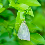 White butterfly hanging on green leaf  ; with soft focus and blu. Macro of white butterfly hanging on green leaf ; with soft focus and blur background Royalty Free Stock Photography