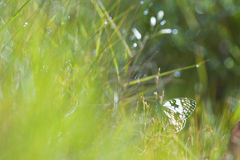 White butterfly hidding on herbs. White butterfly hidding on green herbs Royalty Free Stock Image