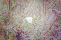 White butterfly holding on flower with warm tone color Royalty Free Stock Photography