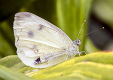 White butterfly with human-like face sitting on green leaf stock photo