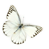 White butterfly. Isolated on white background Royalty Free Stock Images