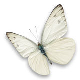 White butterfly Royalty Free Stock Photo