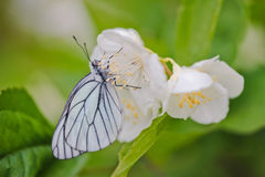 White butterfly on Jasmine flowers Stock Images