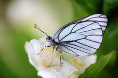 White butterfly on jasmine Stock Images