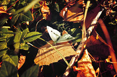 White butterfly - in Latin Pieris brassicae - among the fallen yellowed leaves under the sunlight Stock Photos