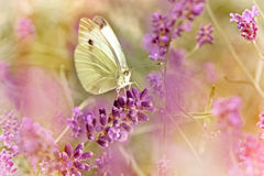 White butterfly on lavender Stock Photo