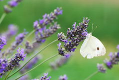 White butterfly on lavender flowers Stock Images