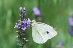 White butterfly on lavender flowers Stock Photo