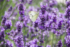 White butterfly on lavender inflorescence Royalty Free Stock Photo