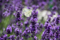 White butterfly on lavender inflorescence Stock Photos