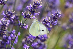 White Butterfly on Lavender (lavendula) Stock Image