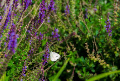 White Butterfly On Lavender. A Small Cabbage White Butterfly in a patch of purple lavender bushes Stock Photo
