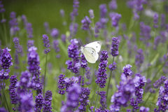 White butterfly on lavender sunny day Royalty Free Stock Photo