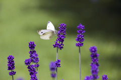 White butterfly on lavender sunny day Stock Photo