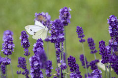 White butterfly on lavender sunny day Stock Image