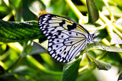 A White Butterfly. On a Leaf Stock Images