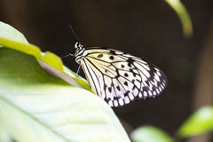 White butterfly on a leaf. Idea Leuconoe also known as rice paper, resting on a leaf.  Found in Southeast Asia Royalty Free Stock Images
