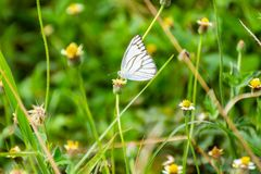White Butterfly on the leaf Stock Photos