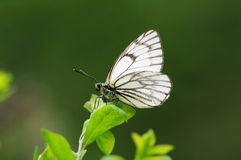 White Butterfly. The  butterfly on the leaves Stock Image