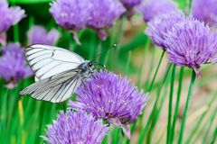 White butterfly on a light purple flower. An extraordinary beautiful picture close up. Macro photo. White butterfly on a light purple flower. An extraordinary Royalty Free Stock Photo