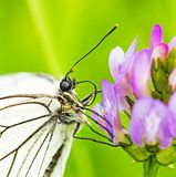 White butterfly on lilac flower macro Stock Photography