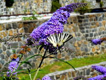 White butterfly on lilac Stock Photography