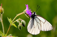 White Butterfly. On little flower on green background Royalty Free Stock Image