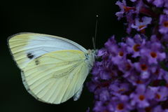 White butterfly. Macro photo Butterfly Royalty Free Stock Photo