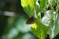 White butterfly om green leaf. Brown butterfly  on green leaf in Kaeng Krachan National Park, Thailand Stock Images