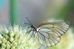 White butterfly. On a white onion flower Stock Image