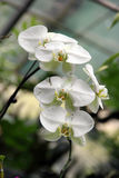 White Butterfly Orchid. A cluster white butterfly orchids, five phalaenopsis with natural environment Royalty Free Stock Photography