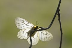 A white butterfly. This butterfly is our country's protected animal.Its pure white wings are charming Stock Photography