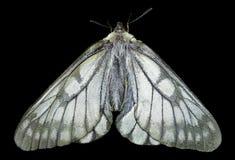 White butterfly (Papilio stubendorfi) 10 Stock Image