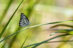 White Butterfly perched on a blade of grass