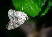 White butterfly perched on a green leaf. White butterfly on a green leaf royalty free stock photo