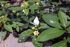White Butterfly Perched On Green Leaf Royalty Free Stock Image