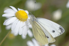 White butterfly pieris brassicae Royalty Free Stock Photo