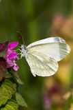 White Butterfly - Pieris brassicae Stock Image