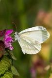 White Butterfly - Pieris brassicae Stock Image
