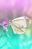 White Butterfly - Pieris brassicae Royalty Free Stock Photos