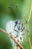 White Butterfly ( Pieris brassicae) Stock Image