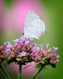 White butterfly on pink flower Royalty Free Stock Photography