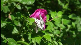 White butterfly on a pink flower stock video footage