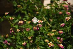 White butterfly on a pink Lantana flower Stock Image
