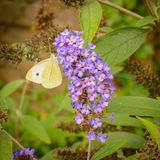 White butterfly on pink lilac Royalty Free Stock Photography