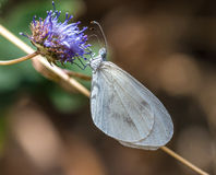 White butterfly. On a purple flowe Stock Photography