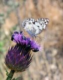 White butterfly on purple flower Royalty Free Stock Photo
