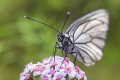 White butterfly on purple flower. Closeup on a green background Stock Photo