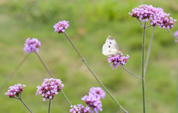 White butterfly on a purple flower clusters. Many clusters of purple flowers , arranged in sequence , the green land background , light and fresh,Breathe the air Royalty Free Stock Photography